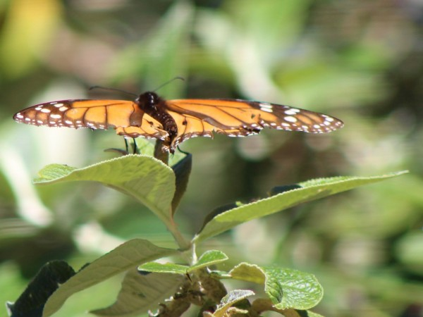Male Monarch with worn wings, Pacific Grove Sanctuary, Photo by Connie Masotti