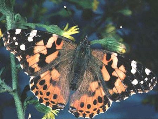 Painted Lady Vanessa Cardui by Peter J. Bryant
