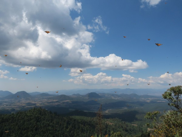 Monarch Butterflies leaving Sierra Chincua Sanctuary in Mexico