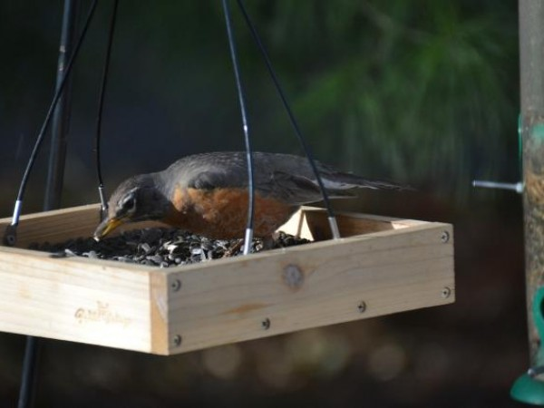A Hungry Robin
