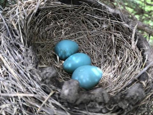 A Three Egg Nest