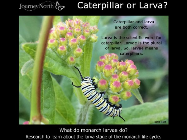 Journal-What Do Monarch Larvae Do?