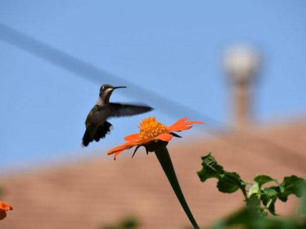 Hummingbird nectaring photo