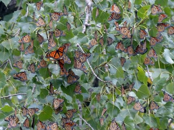 Approximately 200 monarchs roosting