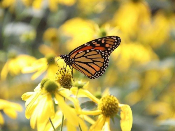 Monarchs Observed Throughout the Day
