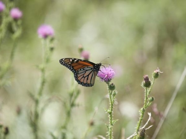 Over 100 monarchs observed