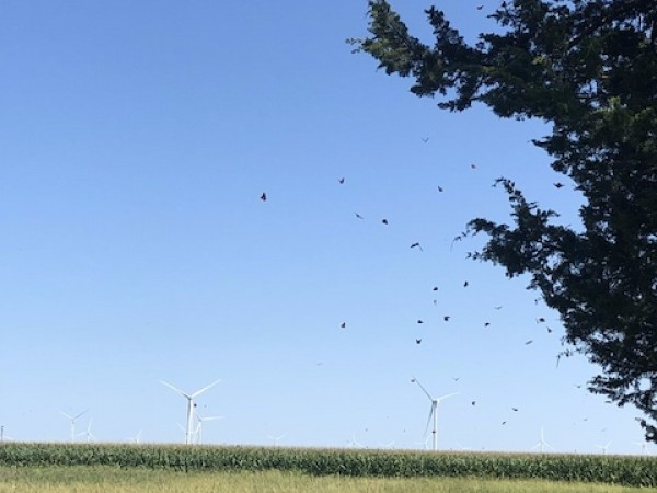 swarm of monarchs