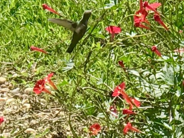 nectaring hummingbirds