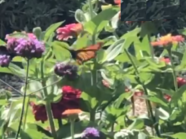 monarch brief visit to a pollinator garden