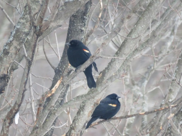 Red-winged blackbirds perched in a tree.