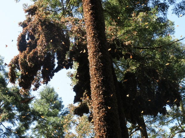 Dense Clusters of Monarchs At El Rosario Sanctuary