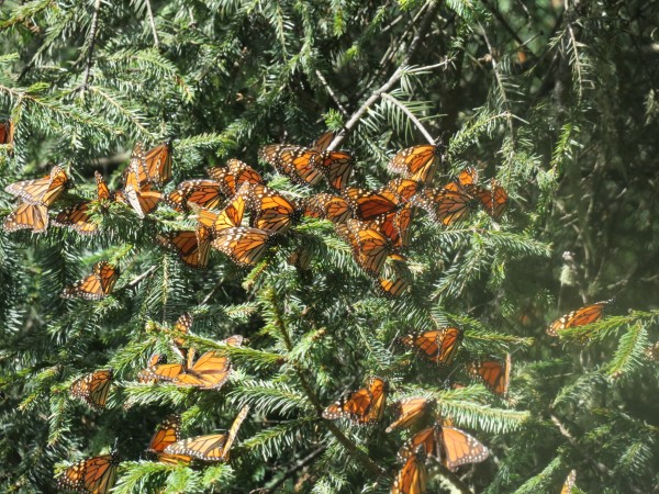 Close-up of monarchs on tree branches.