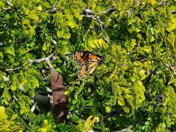 monarch resting on tree