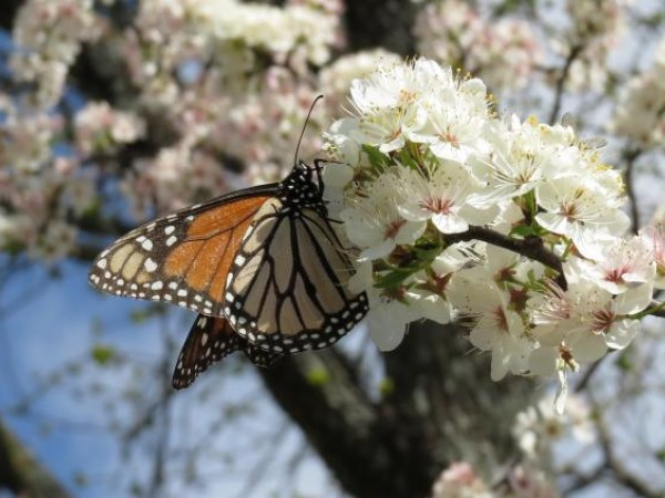 monarch nectaring on Mexican Plum Tree