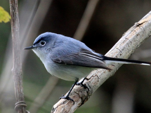 Blue-gray gnatcather