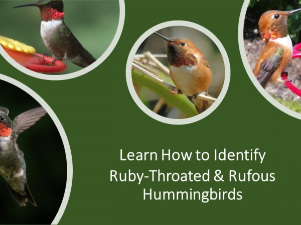 Exploring Together: Identifying Ruby-throated and Rufous Hummingbirds
