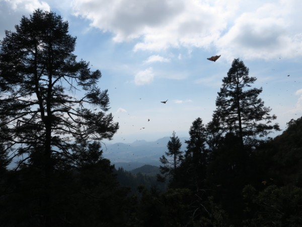 Sierra Cincua Sanctuary monarchs migrating