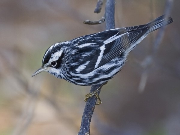Black-and-White Warbler on branch.