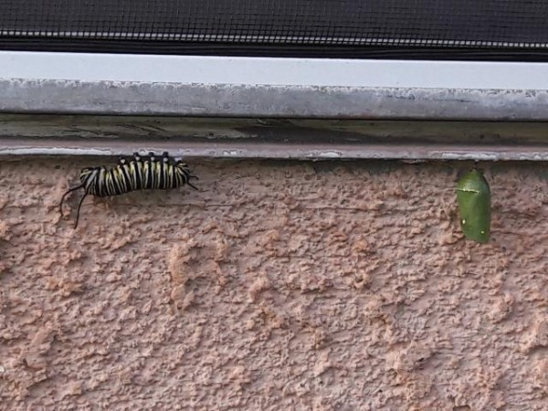 caterpillar and chrysalis
