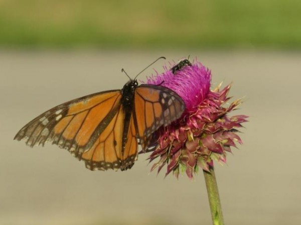 faded wing monarch