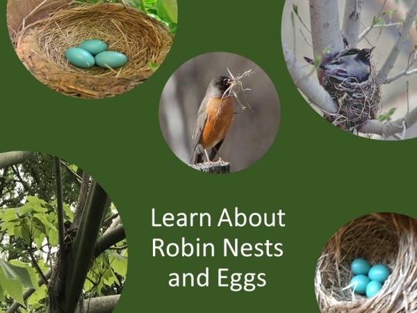 Exploring Together: Robin Nests and Eggs