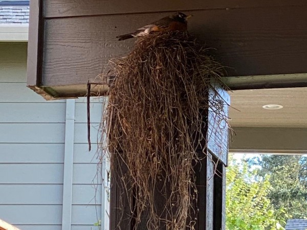 Robin sitting on nest.