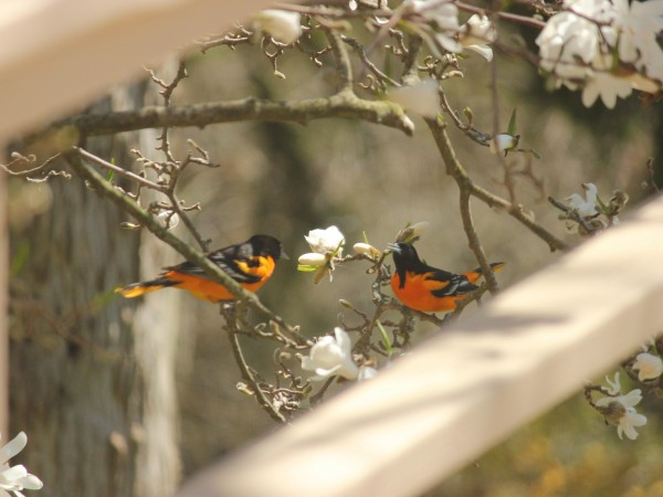 Pair of Baltimore Orioles in a tree.