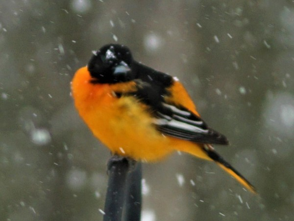 Baltimore Oriole in snowy conditions.