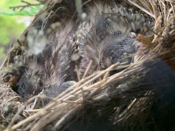 Baby robins in a nest.