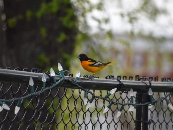 Baltimore Oriole on fence.