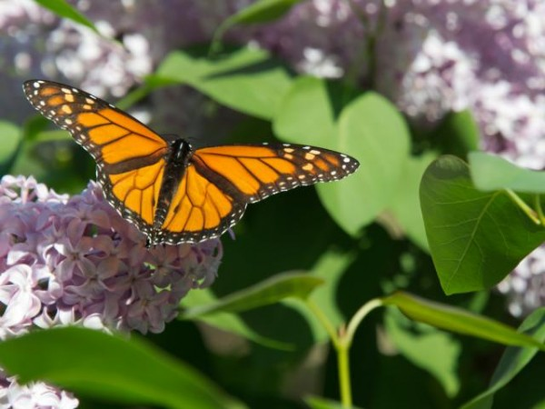 first adult sightings of monarchs