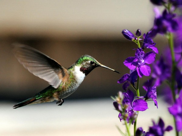 Broad-tailed Hummingbird.