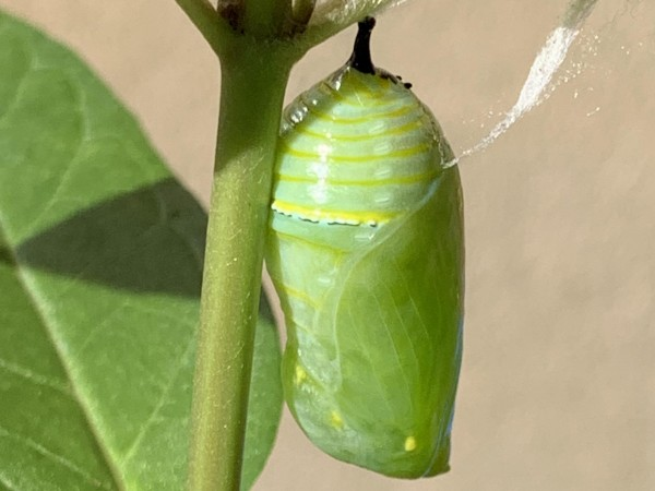 Monarch chrysalis.