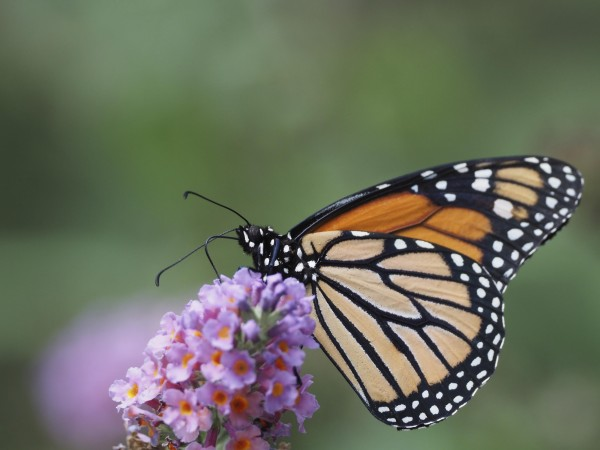 Monarch nectaring.