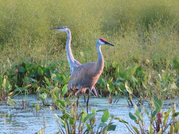 Great Blue Heron and Sandhill Crane.