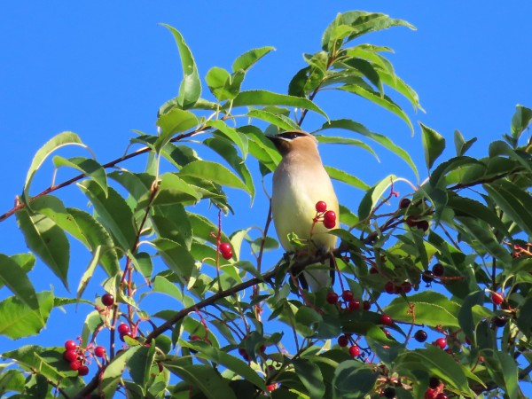 Cedar Waxwing in Cherry Tree.