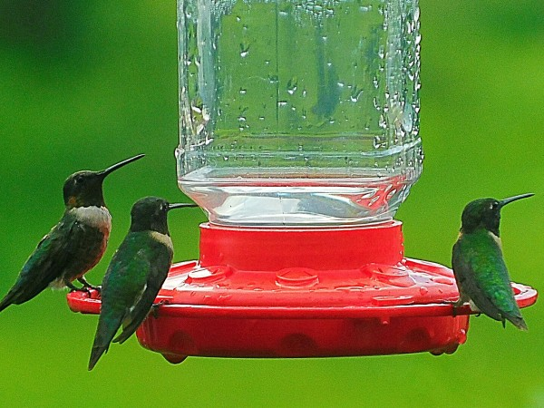 Male Ruby-throated Hummingbirds at feeder.