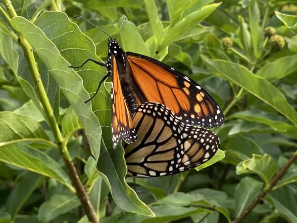 Monarchs mating.