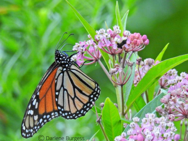 Monarch butterfly nectaring on swamp milkweed.