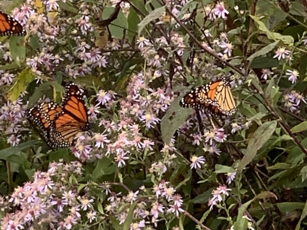 Monarchs nectaring in North Carolina