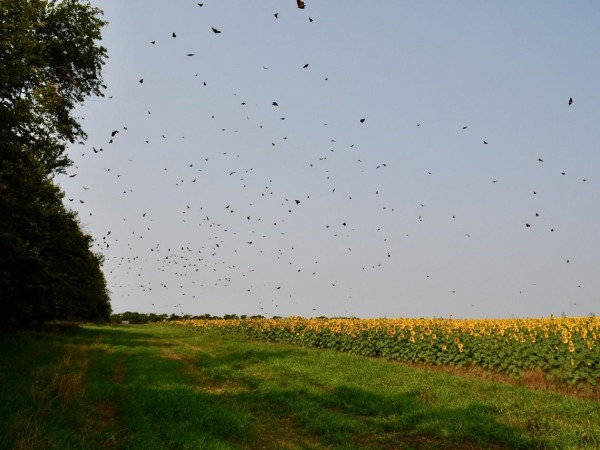 Monarchs forming a roost in Kansas.