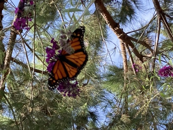 Monarch in northern California