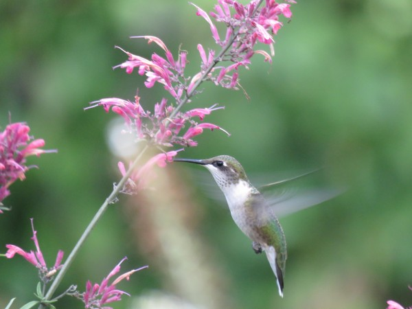 Female hummingbird nectaring on Agastache.