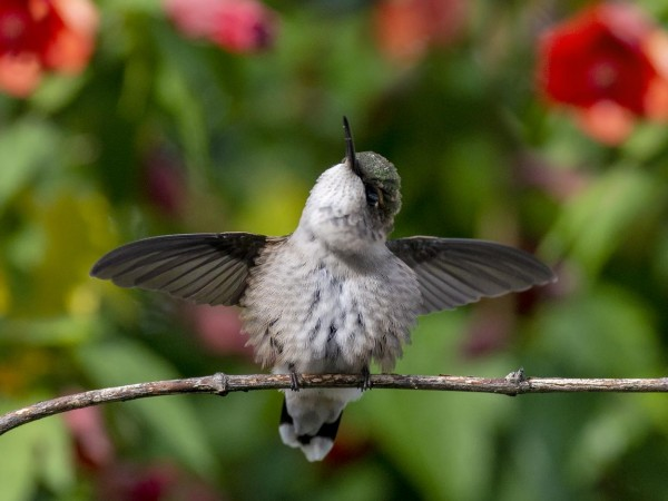 Juvenile hummingbird stretching.