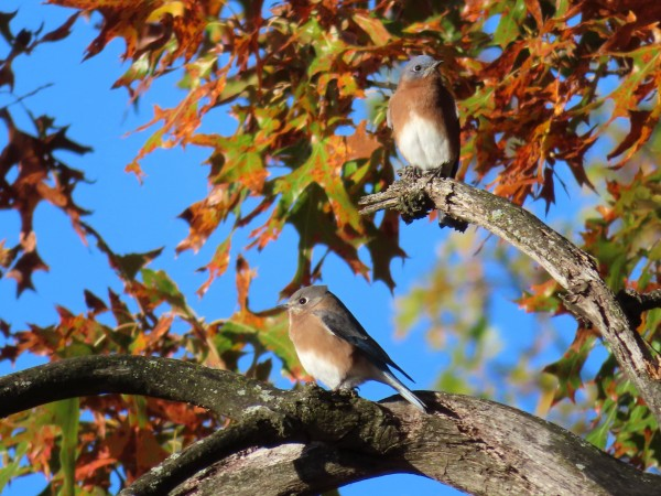 Eastern Bluebirds.