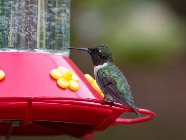 Male Ruby-throated Hummingbird at feeder in Maryland.