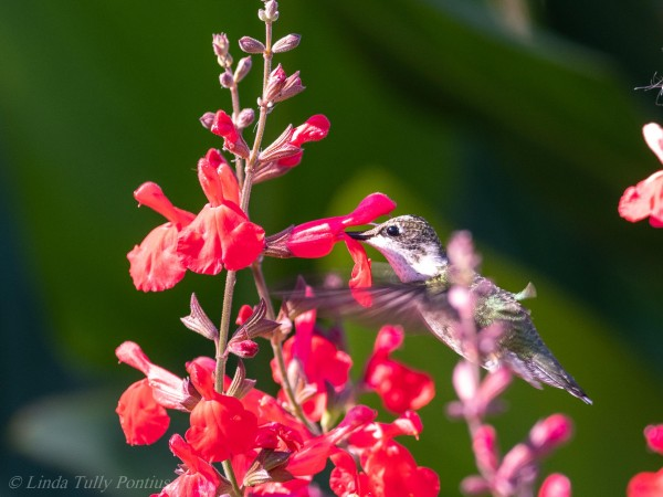 Juvenile Ruby-throated Hummingbird.