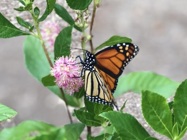 monarch feeding on our ruby spice sweet pepper bushes Photo by: Sloan (Temple Hills, MD; 08/02/2020)
