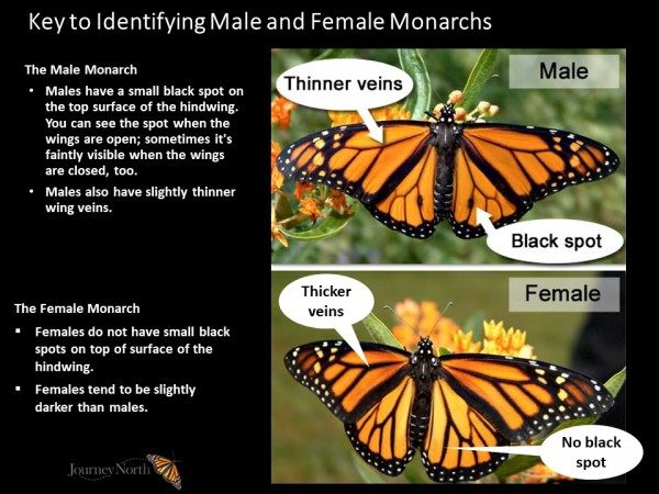 male and female monarch id