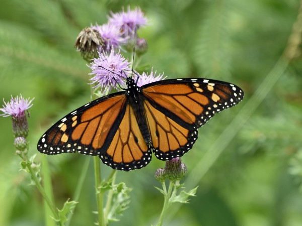 Monarch nectaring in Wisconsin.